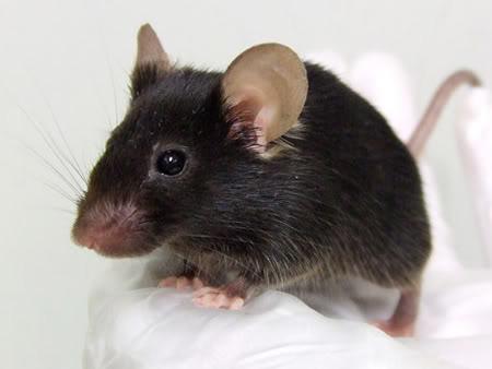 mice photo: mice mice.jpg