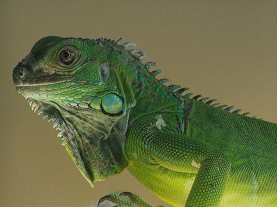 Face to love photo iguana-_zpse0f7d057.jpg