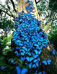 blue-Morphos