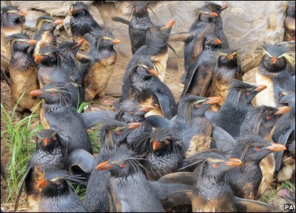 Large group of oiled Rockhopper penguins at Tristan. Photo by Trevor Glass