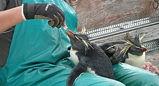 Rescue worker feeding Rockhopper penguin at Tristan. Photo via CNN