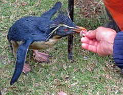 Hand-feeding a thin, oiled Rockhopper penguin at Tristan da Cunha. Photo by Estelle van der Merwe