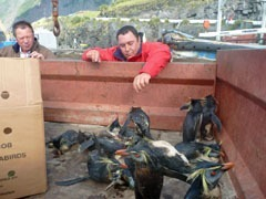 Oiled and ailing Rockhopper penguins in truck. Photo by Katrine Herian, RSPB