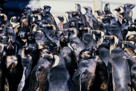 African penguins oiled in the June 23, 2000 Treasure oil spill in Cape Town, South Africa. Photo by Tony Van Dalsen, DAFF