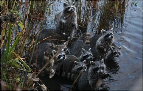 photo 16raccoons-cityroom-blogSpan.jpg