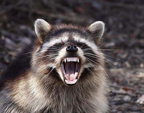 photo raccoon_large1.jpg