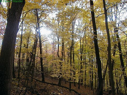 Golden-maple-trees-fall - West Virginia - ForestWander