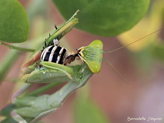 Mantis with Bee (1)