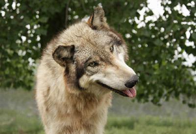Does Wolves Bark Like Dogs