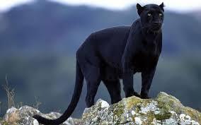 photo blackpanther_zps6338c131.jpg