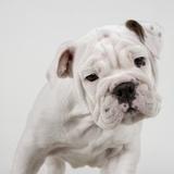 photo wojtek-kalinowski-english-bulldog-puppy_zps20de6e8b.jpg