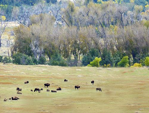 buffalo-herd-2