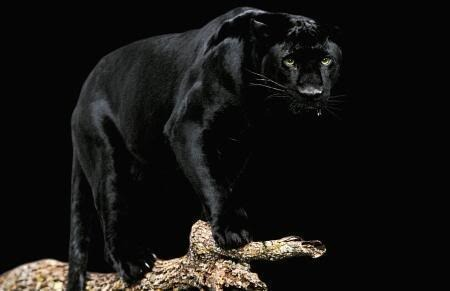 black panther photo: Panther black-panther-1.jpg