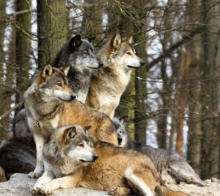 photo wolves_zpsb6b94da9.jpg