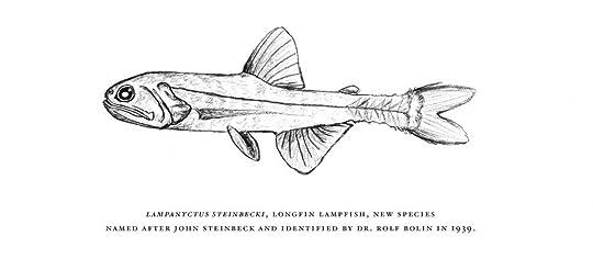 Lampanyctus steinbeck