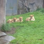 Baby Lions at the Zoo.