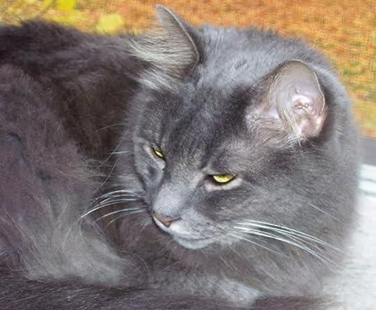 Gray Cats photo: Bailey Gray Cloud BAILORANGEBACKGROUND.jpg