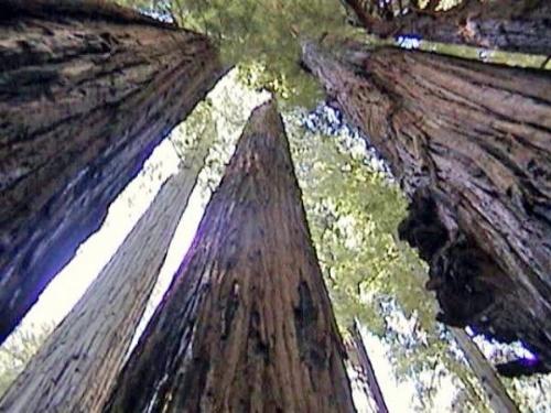 photo Redwoods_zps77280485.jpg