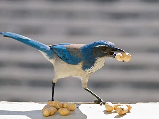 photo Western_Scrub_Jay_zps45528c4e.jpg