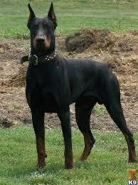 photo doberman_zpsfb733803.jpg