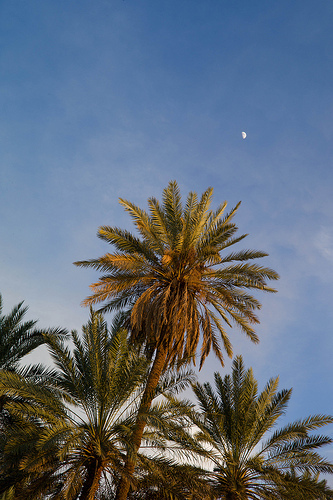 �������� ���������� - Tayma Palm Trees by Bader Awwad