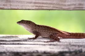 Smug Lizard