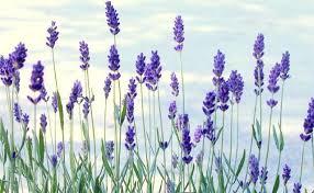 photo lavender_zpsvndahdxj.png