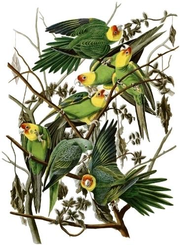 photo carolina_parakeet_eastern_subspecies_audubon_zpswrf0pifx.jpg