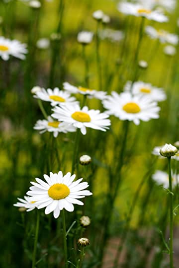 photo Oxeye-daisy-1.jpg