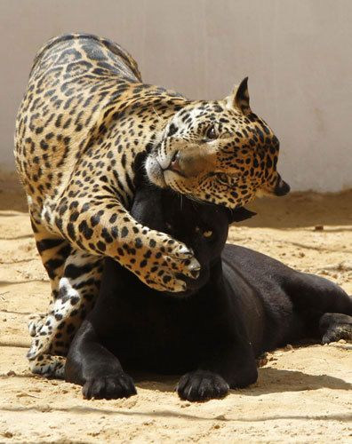 black and a spotted jaguar - Google Search