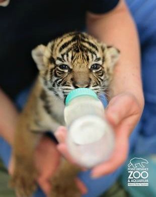 UPDATE: Baby Tiger Gets Her Bottle at Point Defiance Zoo - ZooBorns