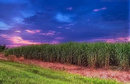 louisana sugarcane fields - Google Search