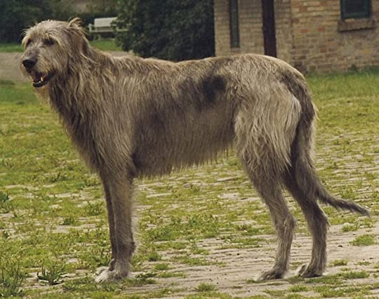 irish wolfhound - Google Search