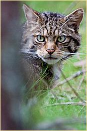 Picture of Scottish wildcat