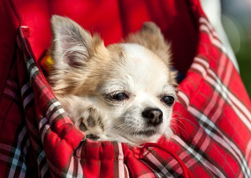 dog in purse: