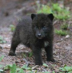 black wolf cub: