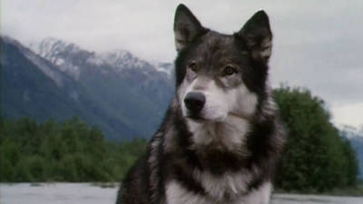 what is the book white fang about
