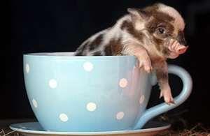 teacup pig: