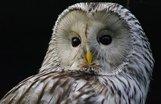 Ural Owl: