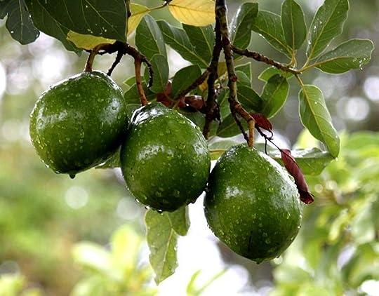 avocado tree: