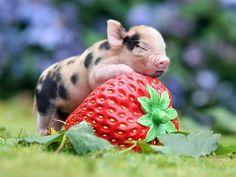 teacup-pig