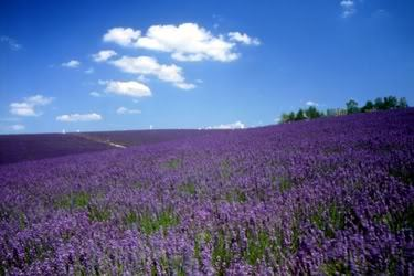 Lavender farm photo: Photogrsphy lavender_1.jpg