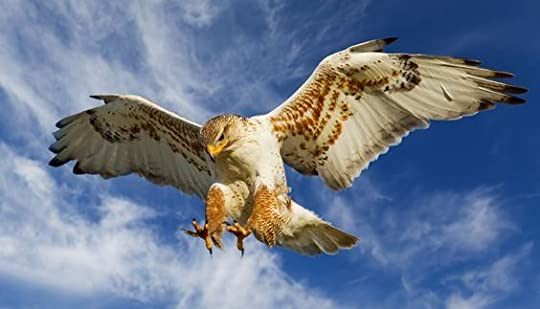 Ferruginous Hawk (Buteo regalis):