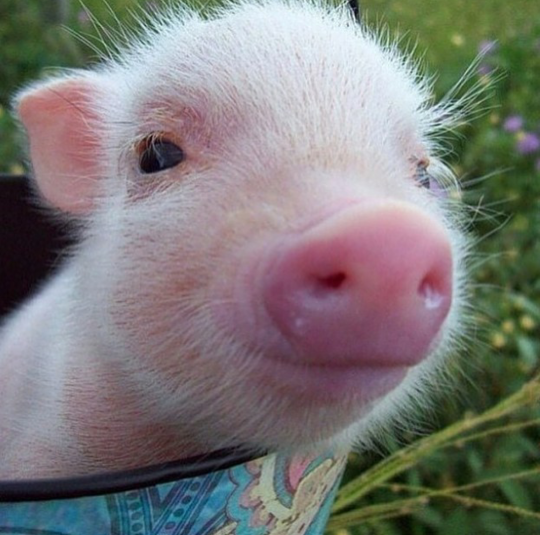 Yodamoms Review Of Esther The Wonder Pig Changing The World One
