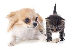 chihuahua and kitten: