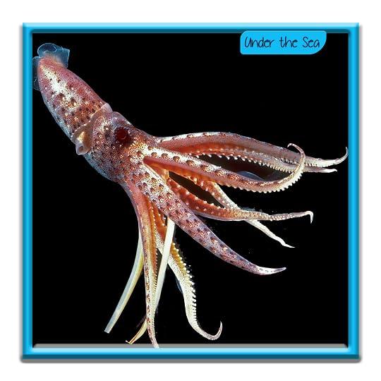 Umbrella Squids