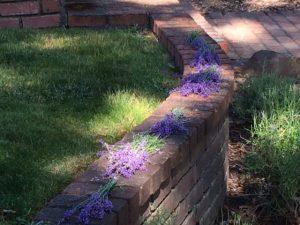 lavendar 3