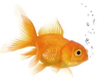 Lucky's pet goldfish: