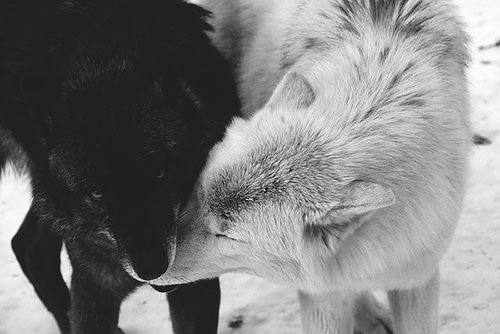 Black Wolf and White Wolf