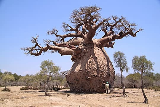 real baobab